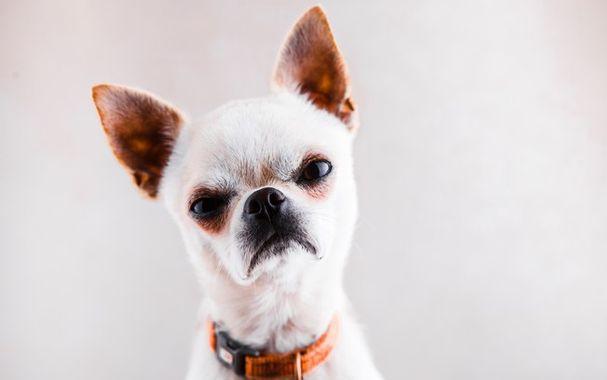 Chihuahua feroz